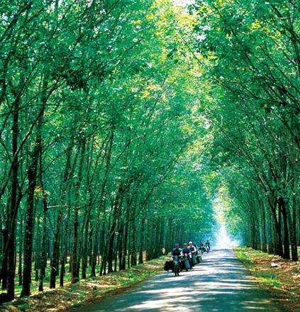 Sức sống cây cao su vùng Bắc Trung bộ