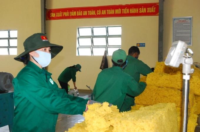Bất chấp dịch Covid-19, kết quả sản xuất của Cao su Chư Păh vẫn đạt cao