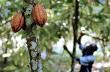 Cacao sẽ thiếu do nông dân chuyển sang trồng cao su