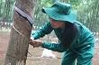Việt Nam trở thành nước sản xuất cao su thứ ba thế giới