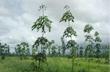 VRG: Trồng cao su tại Lào, Campuchia đúng quy hoạch