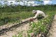 Quy trình kỹ thuật cây cao su năm 2012: Cập nhật nhiều tiến bộ mới