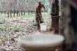 Sản lượng cao su thiên nhiên Ấn Độ tăng vọt 67% trong tháng 3