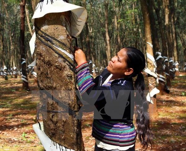 Thúc đẩy trồng rừng cao su bền vững theo tiêu chuẩn quốc tế