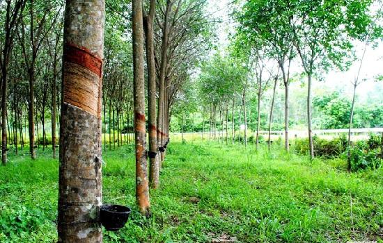 Cao su Tân Biên (RTB) ghi nhận 207 tỷ đồng lãi từ thanh lý cây vườn cây cao su trong 6 tháng đầu năm