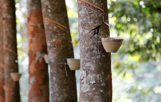 ANRPC: Trung Quốc, Ấn Độ có thể thúc đẩy tiêu thụ cao su tự nhiên