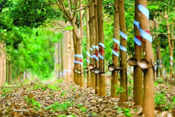 Doanh nghiệp cao su Việt Nam nên đầu tư chất lượng