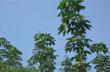 Điện Biên: Hoàn thành kế hoạch trồng cao su năm 2012