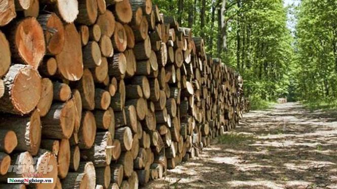 Bài toán gỗ nguyên liệu cho mục tiêu 20 tỷ USD