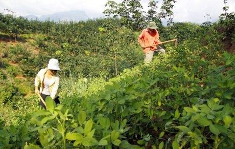 Nhiều mô hình kinh tế hiệu quả tại Cao su Lai Châu 2
