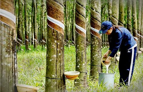 Giá mủ, gỗ cao su tăng: Vẫn chưa hết lo