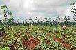 Trồng xen canh trên vườn cây cao su: Lấy ngắn nuôi dài