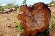 """Vì sao dự án """"cưa rừng trồng cao su"""" gây phản ứng mạnh?"""