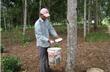 Phú Yên: Mủ cao su rớt giá, người trồng khó khăn