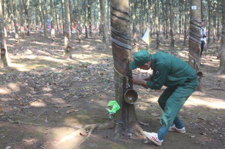 Nông trường Sông Giêng giải nhất thi thợ giỏi Cao su Bình Thuận