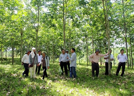 Thuận lợi và khó khăn trong phát triển cao su ở Thừa Thiên - Huế
